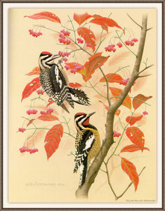 August Albert Zimmermann - yellow-bellied sapsucker