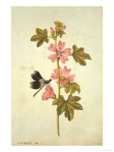 Jacques Le Moyne De Morgues - Malva e Flagfly